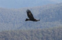 Eagle in Flight by Michael Stormer, Tactical Planning Forester